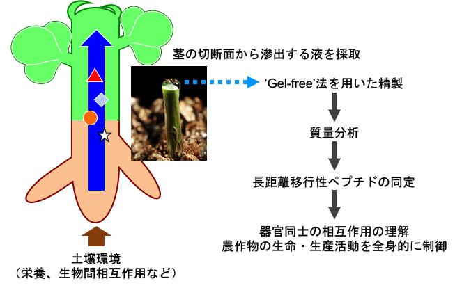 作物学研究室_岡本研究内容