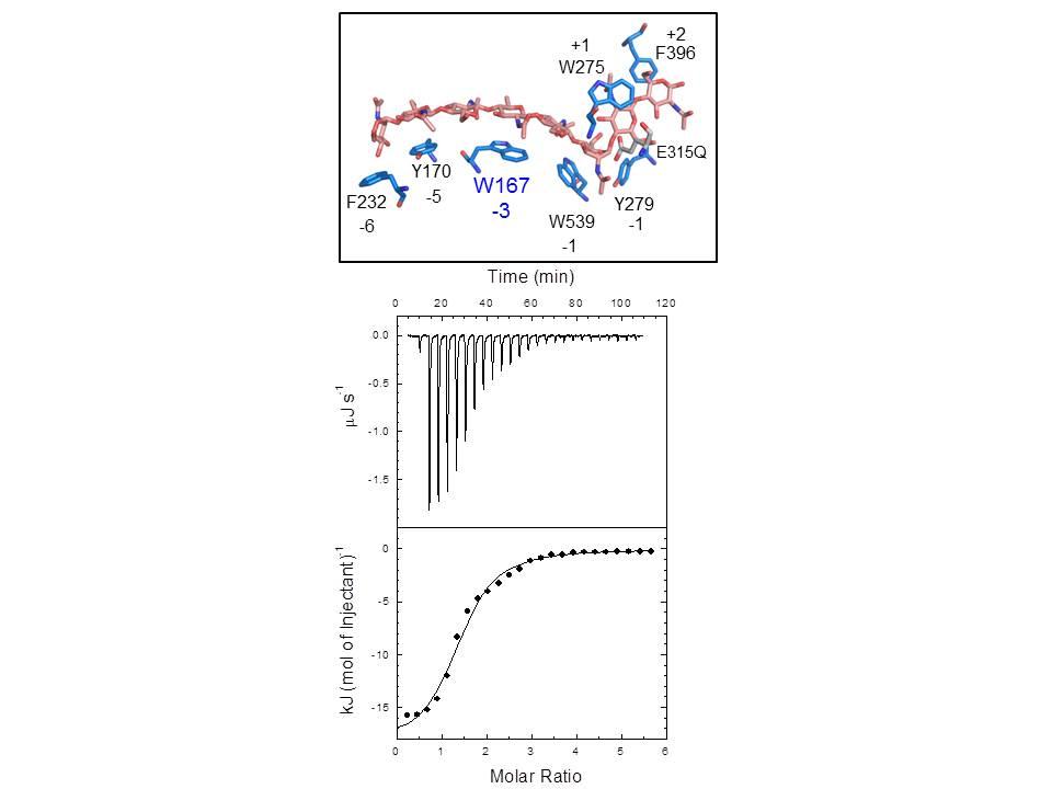 連続反応キチナーゼの構造と基質結合の熱測定