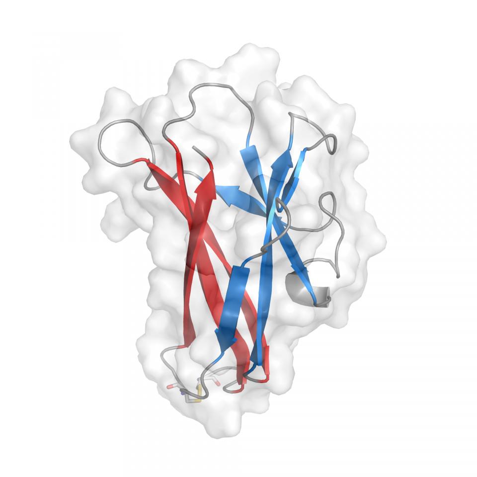 デンプン結合ドメインの立体構造