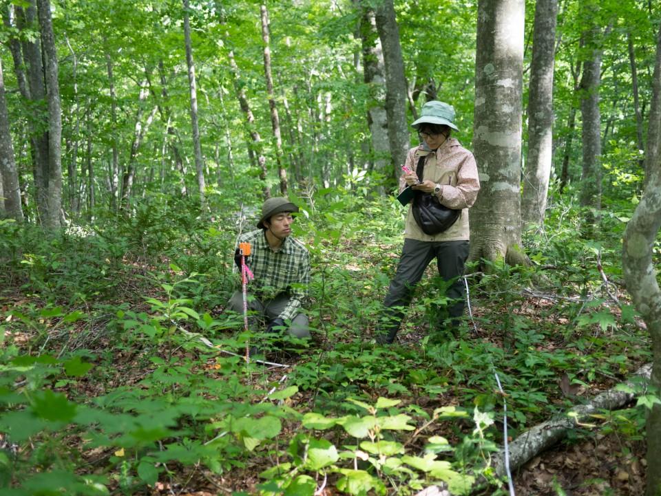 ブナ林での林床の植生調査(八甲田)
