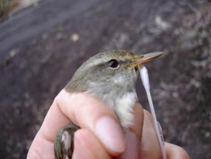 鳥媒花ヤブツバキの花粉流動