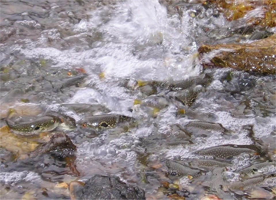 海岸でのクサフグの集団産卵。春から初夏の大潮(新月と満月)の日の満潮前に、クサフグは海岸の一角に集合して水際で産卵する。