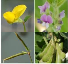 図、モデル植物(左:ミヤコグサ)で得た遺伝子機能の知見を栽培植物(右:ダイズ)育種に応用する。