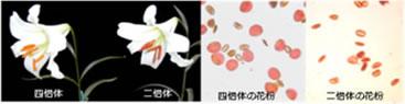 染色体倍加によるユリ種間雑種の花粉稔性の回復