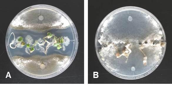 Bacillus属細菌による菌核病の抑止(A Bacillus接種, B 対照)