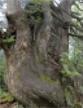 雪と風の造形、演習林の千手杉