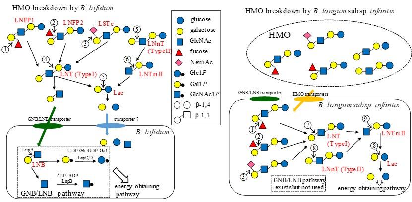 2種のビフィズス菌のHMO代謝経路