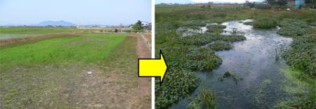 再生前の休耕田(左)と再生後の湿地(右) 新潟市の大原再生湿地
