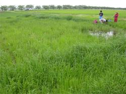 新潟市の丸潟新田再生湿地での植物調査