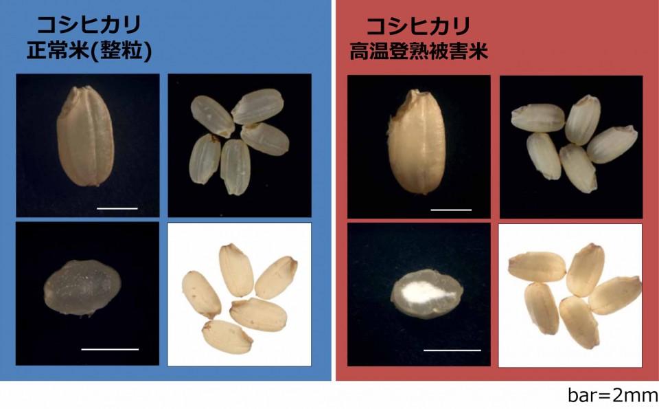 高温によって発生する白濁化米