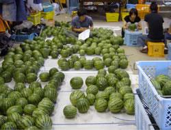 非破壊の果実の物性測定