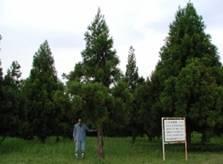 スギ従来型採種園やクロマツなどの採種園では脚立で種子を採取