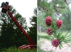 左:カラマツ属の採種園では作業車で種子を採取<br />右:球果