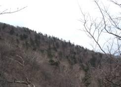 韓国における希少種Picea jezoensisの孤立集団