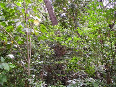 海岸林に生育する常緑広葉樹
