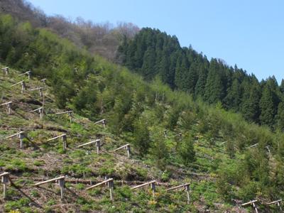 グライド防止工を用いた森林造成