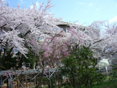 農学部中庭の桜。毎年この下で研究室の花見をしています。