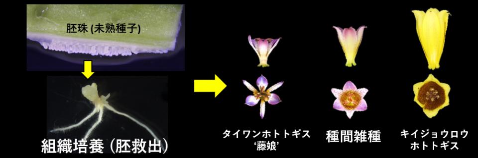 2. 遠縁種間雑種の作出