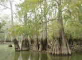 ミシシッピ川河口の湿地林