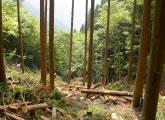 スギ人工林の強度間伐