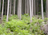 スギ人工林の間伐によって侵入してきた広葉樹