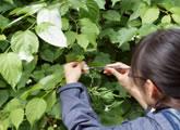 雌雄異株樹木のマタタビの受粉試験