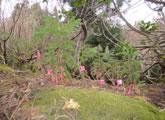 倒木の上に芽生えたスギの実生