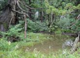 天然スギ林の湿地にはカエルやサンショウウオが生息