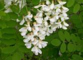 外来樹種ニセアカシアの花、養蜂の蜜源として重要