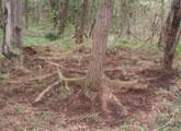 水平根でつながるニセアカシアの根系