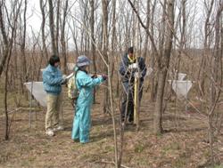 荒川のニセアカシア林の樹高や直径を調査しています