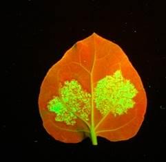 アグロバクテリアによるウイルスタンパク融合GFP(緑色蛍光タンパク質)遺伝子の発現