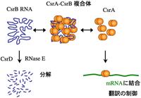 CsrA-CsrB 複合体
