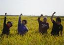 水稲刈り取りパフォーマンス