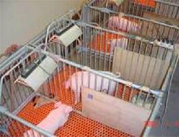 子豚を用いた動物実験