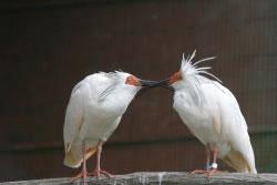 外観から性判定できないトキ(右:♂、左:♀)