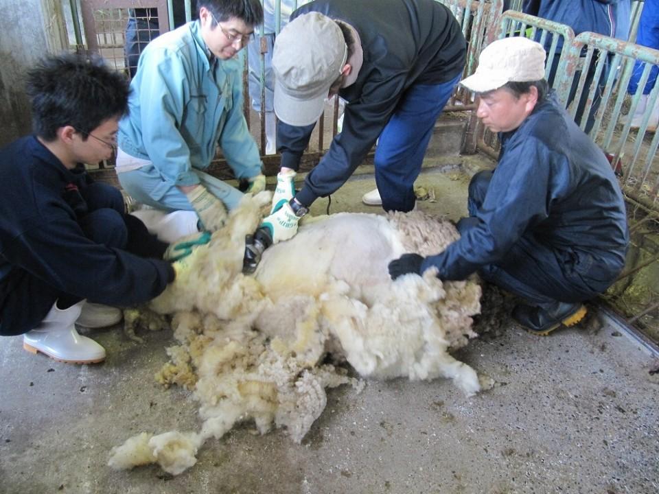 羊の毛刈り(実習)